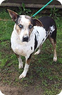 Catahoula Leopard Dog Mix Dog for adoption in Demopolis, Alabama - Stella Rose
