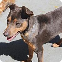 Adopt A Pet :: Dreamer - tampa, FL