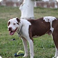 Adopt A Pet :: Chance - Mesa, AZ