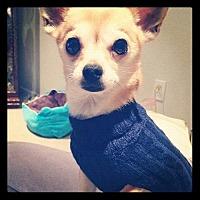 Chihuahua Dog for adoption in Rancho Santa Margarita, California - zzz - Symba*courtesy post*