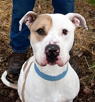 American Bulldog Mix Dog for adoption in Fort Madison, Iowa - Luca