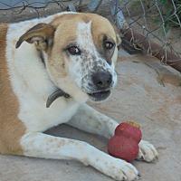 Adopt A Pet :: Cecilia - Anton, TX