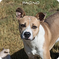 Adopt A Pet :: Pacino - Patterson, CA