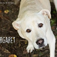 Labrador Retriever Dog for adoption in Liberty, Missouri - Maggie