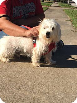 Maltese Mix Dog for adoption in Broken Arrow, Oklahoma - Patches