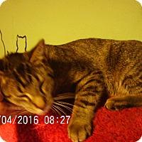 Adopt A Pet :: Lover Boy - Bridgeton, MO