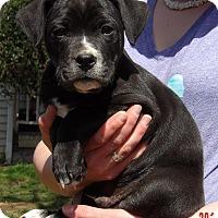 Adopt A Pet :: Hawk (8 lb) Video! - Williamsport, MD