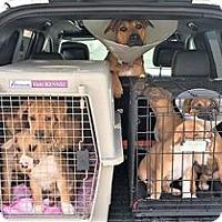 Adopt A Pet :: MELBA TOAST--Katie puppy - Pleasanton, CA