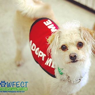 Poodle (Toy or Tea Cup)/Terrier (Unknown Type, Small) Mix Dog for adoption in Redondo Beach, California - Newton