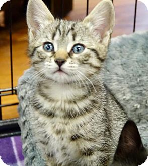 Domestic Shorthair Kitten for adoption in River Edge, New Jersey - Brianna