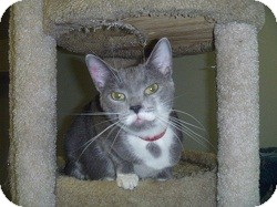 Domestic Shorthair Cat for adoption in Hamburg, New York - Sharon