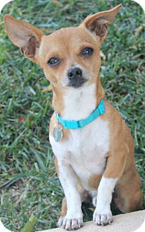 Chihuahua Dog for adoption in Temecula, California - Wrigley