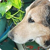 Adopt A Pet :: SHELBY MAGNOLIA - Bryan, TX