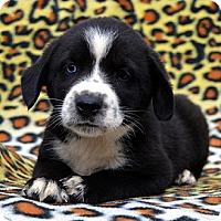 Adopt A Pet :: Alexandria - Garland, TX