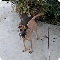 Adopt A Pet :: Ping Pong - Simi Valley, CA