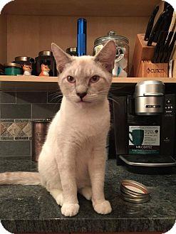 Siamese Cat for adoption in Fairborn, Ohio - Go'el
