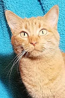 Domestic Shorthair Cat for adoption in Colfax, Iowa - Piper