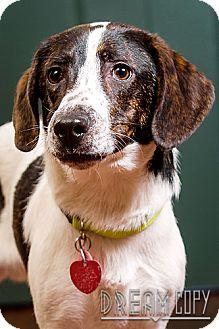 Basset Hound/Beagle Mix Dog for adoption in Owensboro, Kentucky - Jake - DRD graduate