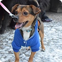 Chihuahua/Beagle Mix Dog for adoption in Woodland Park, New Jersey - Nono ChiBea 13lbs