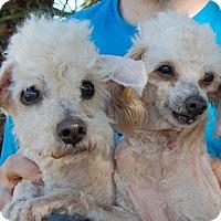 Adopt A Pet :: Bougado - Las Vegas, NV
