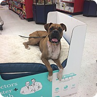 Boxer Dog for adoption in Reno, Nevada - Webster