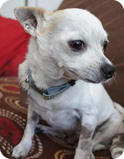 Chihuahua Mix Dog for adoption in San Diego, California - PeteE