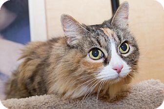 Domestic Longhair Cat for adoption in Irvine, California - London