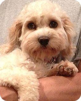 Cockapoo Mix Puppy for adoption in W. Warwick, Rhode Island - RI-Lily