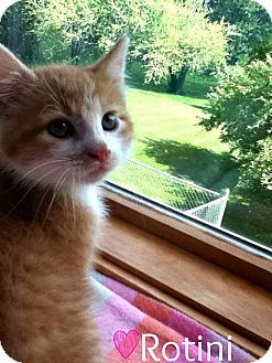 Domestic Shorthair Kitten for adoption in Geneseo, Illinois - Rotini