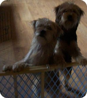 Yorkie, Yorkshire Terrier Mix Dog for adoption in Clinton, Maine - Sam and Murphy -Ok To Separate