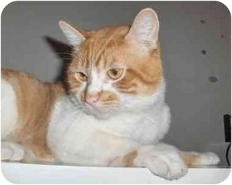 Domestic Shorthair Cat for adoption in Toronto, Ontario - Sparkle
