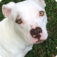 Adopt A Pet :: Ivory - Knoxville, TN