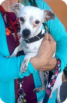 Jack Russell Terrier/Dachshund Mix Dog for adoption in Santa Ana, California - Daisy (AS)