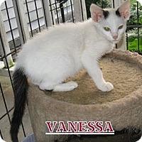 Turkish Van Cat for adoption in Somerset, Kentucky - Vanessa
