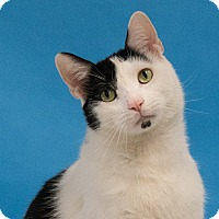 Domestic Shorthair Cat for adoption in Houston, Texas - Jackson
