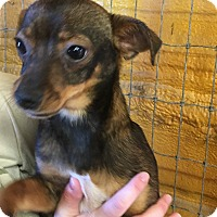 Terrier (Unknown Type, Small)/Chihuahua Mix Dog for adoption in Mexia, Texas - Bones