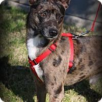 Adopt A Pet :: Apollo - Lodi, CA