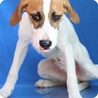 Adopt A Pet :: Olaf - Waldorf, MD