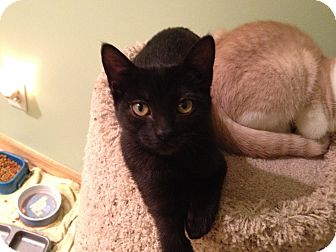 Domestic Shorthair Cat for adoption in East Hanover, New Jersey - Pandora