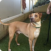 Adopt A Pet :: Ringo - Mission Viejo, CA