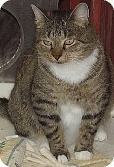 Domestic Shorthair Cat for adoption in Savannah, Missouri - Dory