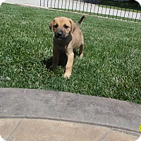 Adopt A Pet :: 2 female shep mixes - mooresville, IN