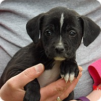 Border Collie/Shepherd (Unknown Type) Mix Puppy for adoption in Williamsport, Maryland - Chief (5 lb) Video!