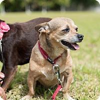 Adopt A Pet :: Polo - Key Biscayne, FL