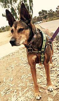 German Shepherd Dog Mix Dog for adoption in Vista, California - Zoe