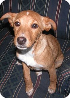 Labrador Retriever/Terrier (Unknown Type, Medium) Mix Puppy for adoption in Manchester, Connecticut - Penny