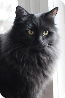 Persian Cat for adoption in Columbus, Ohio - Hope