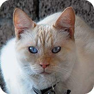 Domestic Shorthair Cat for adoption in Phoenix, Arizona - Sinatra