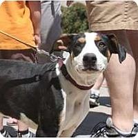 Adopt A Pet :: Callie - Arlington, TX