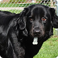 Adopt A Pet :: Ozzie - New Canaan, CT